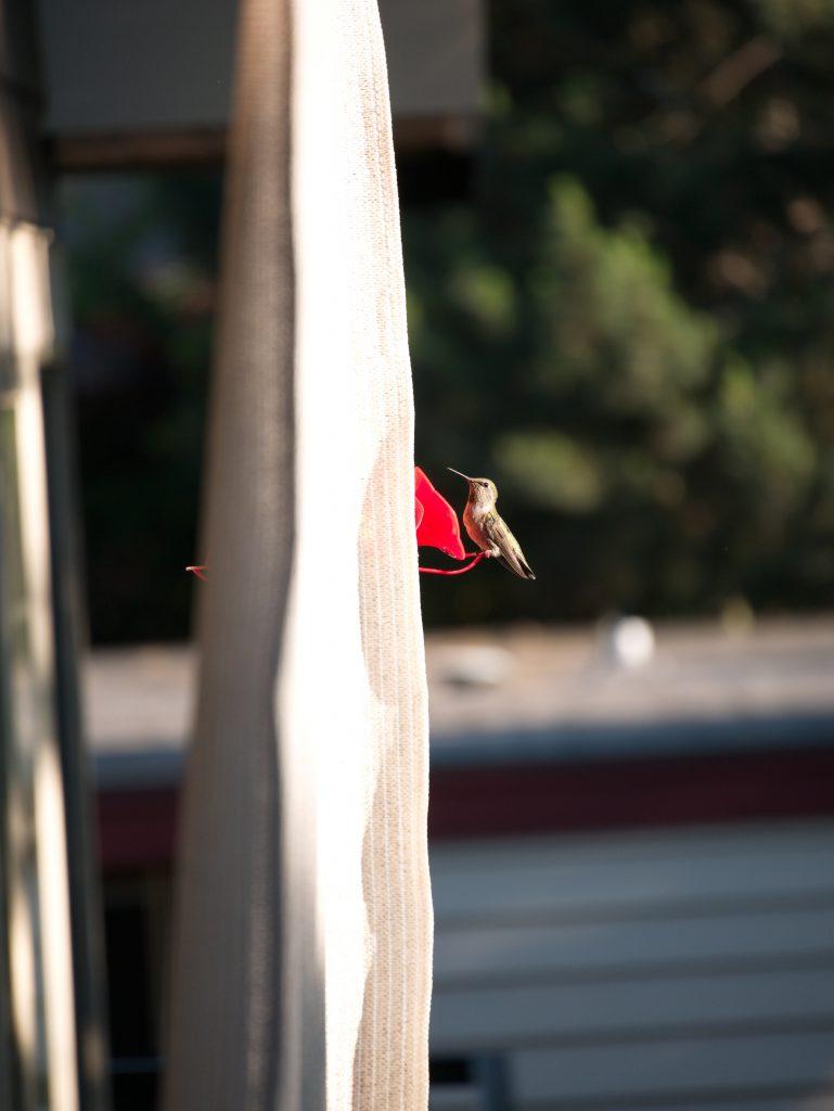 Humming Bird (Before SnapSeed)